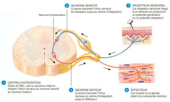 Syndrome d orgasme plantaire bouillie de cerveau for Influx nerveux