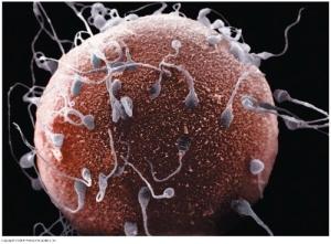 Spermatozoïde