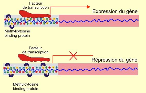 Rôle de la méthylation sur la transcription. La cytosine des îlots GpC peut être méthylée sous le contrôle de méthyl-transférases et méthylases. Ces îlots permettent la protection ou au contraire la 'mise à nu' des segments de DNA à transcrire au niveau des nucléosomes par interaction avec les histones (histone déacétylase). Lorsque le promoteur du gène est hypo-méthylé, il permet l'activation de la transcription du gène par la DNA polymérase. A l'inverse, lorsque le gène est hyper-méthylé, la transcription du gène va être réprimée. Ainsi, un gène répresseur de tumeur (type pRb), s'il est hyper-méthylé, va voir sa transcription inhibée et l'impression générale va être celle d'une disparition du rôle du gène. A l'inverse, un oncogène, s'il est hypo-méthylé, va voir sa transcription exagérée, ce qui aboutira à une stimulation de la mitose.
